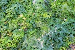 alga Immagini Stock