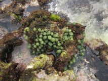 Alga Algae L. 1751 on the island turtle Venezuelan coastal zone stock photos
