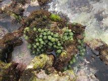 Alga Algae L 1751 op de Venezolaanse kustzone van de eilandschildpad stock foto's