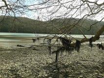 Alga che appende sull'albero sulla diga di Lopwell del fiume soggetto alle maree Fotografie Stock