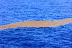 Alga che fa galleggiare il metà di Atlantico Fotografie Stock Libere da Diritti
