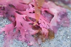 Alga colorida na praia Imagens de Stock Royalty Free
