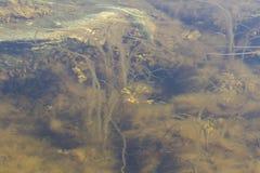 Alga de Brown sob a água pouco profunda Fundo natural fotos de stock