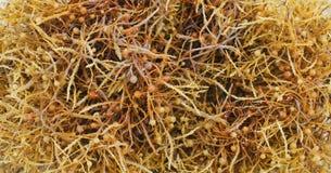 Alga de Sargassum imagem de stock