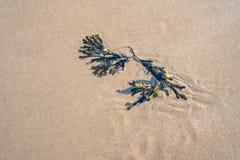 Alga del fuco della vescica sulla sabbia bagnata, Risonanza fotografia stock libera da diritti