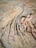 Alga del pellame dell'elefante Fotografia Stock