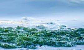 Alga dell'oceano Fotografia Stock