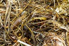 Alga e bolsa das sereias Fotografia de Stock Royalty Free