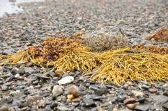 Alga e ciottoli su Maine Beach Fotografia Stock