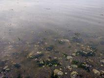 A alga e a pedra suportam sob a água do som de Puget da manhã Foto de Stock