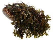 Alga fresca - nutrição saudável fotografia de stock royalty free