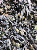 Alga marina Imagenes de archivo