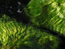 Alga marina Fotos de archivo
