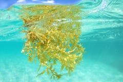 Alga marina de Sargassum que flota bajo el agua en el mar Fotografía de archivo