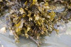 Alga marina del estante de la vejiga Imágenes de archivo libres de regalías