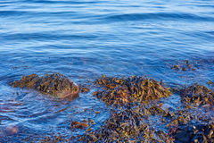 Alga marina en el mar Fotos de archivo libres de regalías