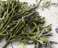 Alga marina en la arena Foto de archivo libre de regalías