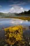 Alga marina en la costa costa Fotografía de archivo libre de regalías