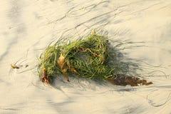 Alga marina en la playa Fotografía de archivo libre de regalías