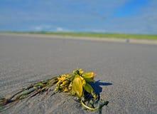 Alga marina en la playa Foto de archivo libre de regalías