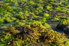 Alga marina en la playa Fotos de archivo libres de regalías