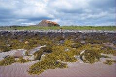 Alga marina en la playa arenosa Fotos de archivo libres de regalías