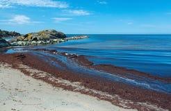 Alga marina en la playa arenosa Fotos de archivo