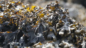 Alga marina en roca Imagen de archivo libre de regalías