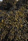 Alga marina en rocas Fotografía de archivo libre de regalías