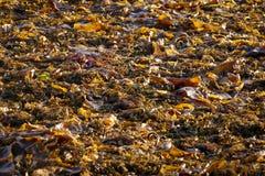 Alga marina en un montón en la bahía del mar blanco fotografía de archivo