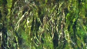 Alga marina en un río, arriba encima de la visión Cámara lenta almacen de metraje de vídeo