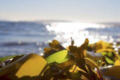Alga marina en una playa Imágenes de archivo libres de regalías