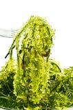 Alga marina fresca Imágenes de archivo libres de regalías