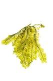 Alga marina fresca fotografía de archivo libre de regalías