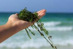 Alga marina fresca Imagen de archivo libre de regalías