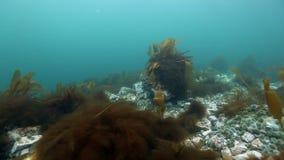 Alga marina gigante subacuática en fondo del infante de marina azul en el Océano ártico almacen de metraje de vídeo