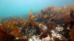 Alga marina gigante subacuática en fondo del infante de marina azul en el Océano ártico almacen de video