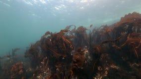 Alga marina gigante subacuática en fondo del fondo del mar marino del mar de Barents metrajes