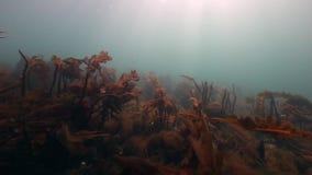 Alga marina gigante subacuática en fondo del fondo del mar marino del mar de Barents almacen de video
