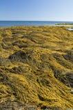Alga marina, Nueva Escocia fotografía de archivo