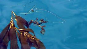 Alga marina que flota en las ondas apacibles Monterey California metrajes