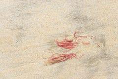 Alga marina roja Imágenes de archivo libres de regalías