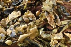 Alga marina seca Imágenes de archivo libres de regalías