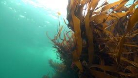 Alga marina subacuática en el fondo del mar del mar de Barents almacen de metraje de vídeo