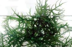 Alga marina verde fresca en el agua Imagenes de archivo