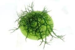Alga marina verde fresca en una placa verde Fotos de archivo