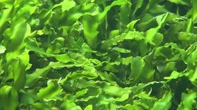 Alga marina y Marine Algae metrajes