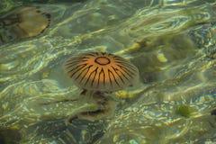 Alga marina y medusas Fotos de archivo libres de regalías