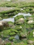 Alga marina y quelpo foto de archivo libre de regalías