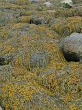 Alga marina y quelpo en rocas de la playa, foto de archivo